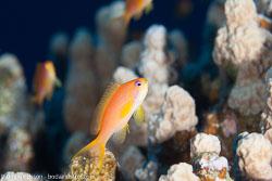 BD-120423-Fury-Shoal-6110-Pseudanthias-squamipinnis-(Peters.-1855)-[Sea-goldie].jpg
